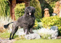 cão cão d'água português