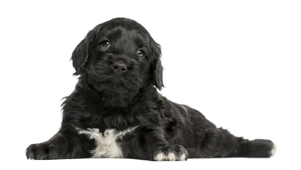 cão d'água português cachorro