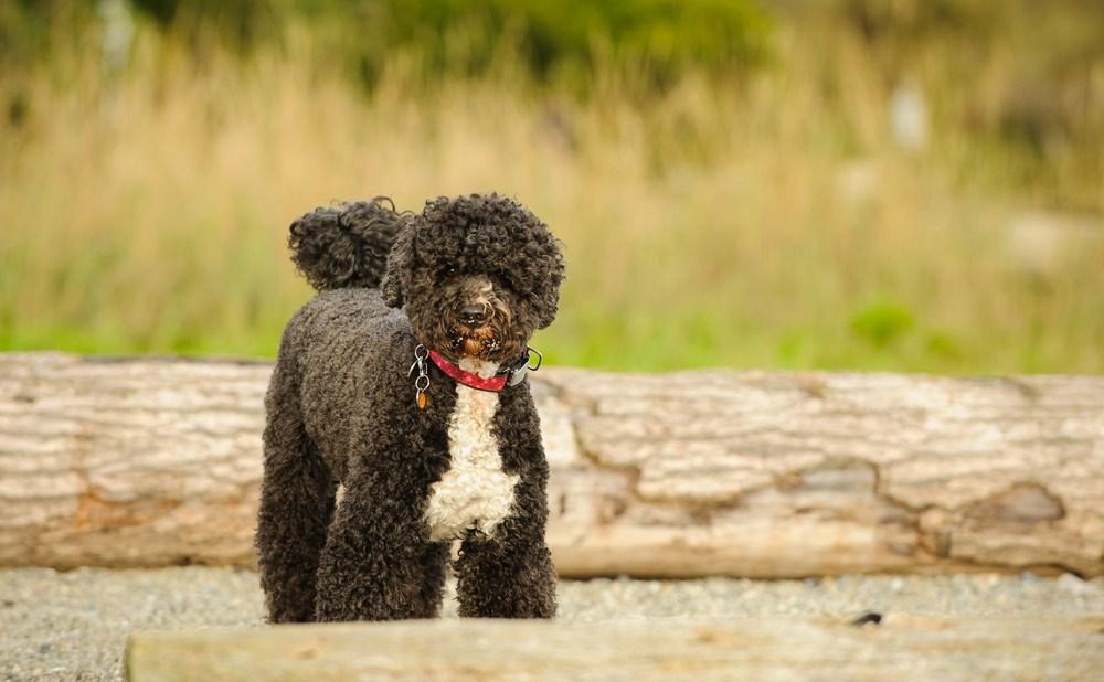 cão d'água português cão
