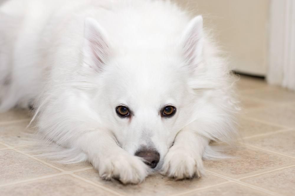 cão esquimó americano
