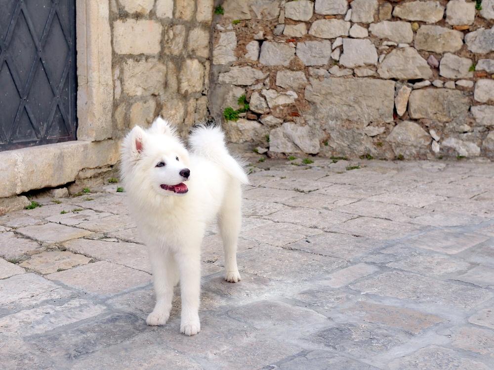 cão esquimó americano cão