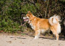 cão islandês de pastoreio