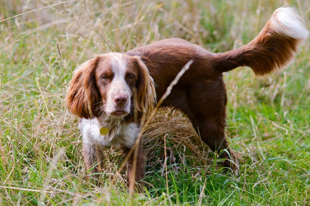field spaniel cão