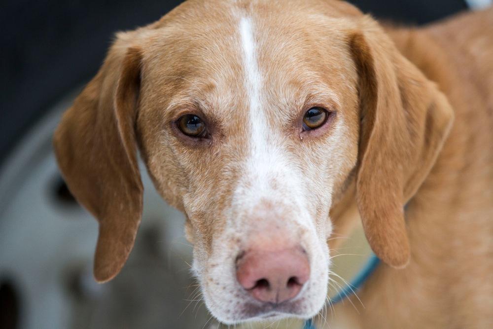 foxhound americano cão