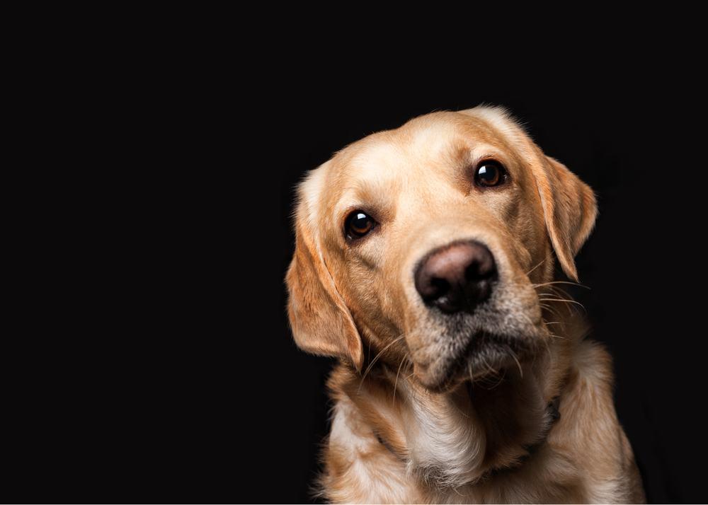 goldador cão