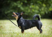 lancashire heller cão