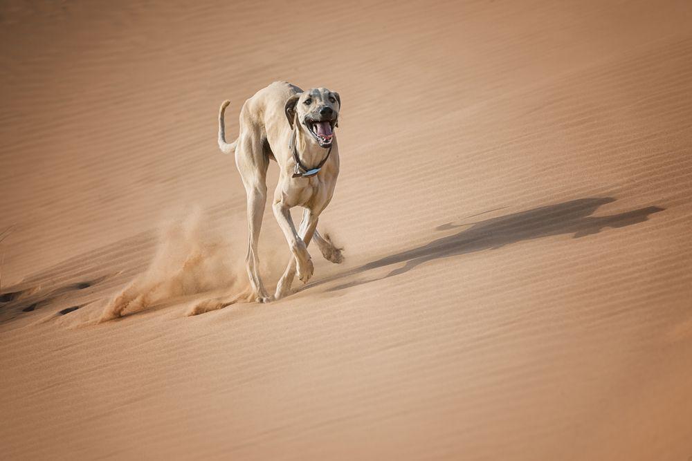 sloughi cão