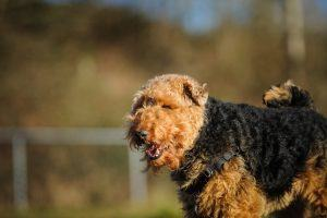 welsh terrier cachorro