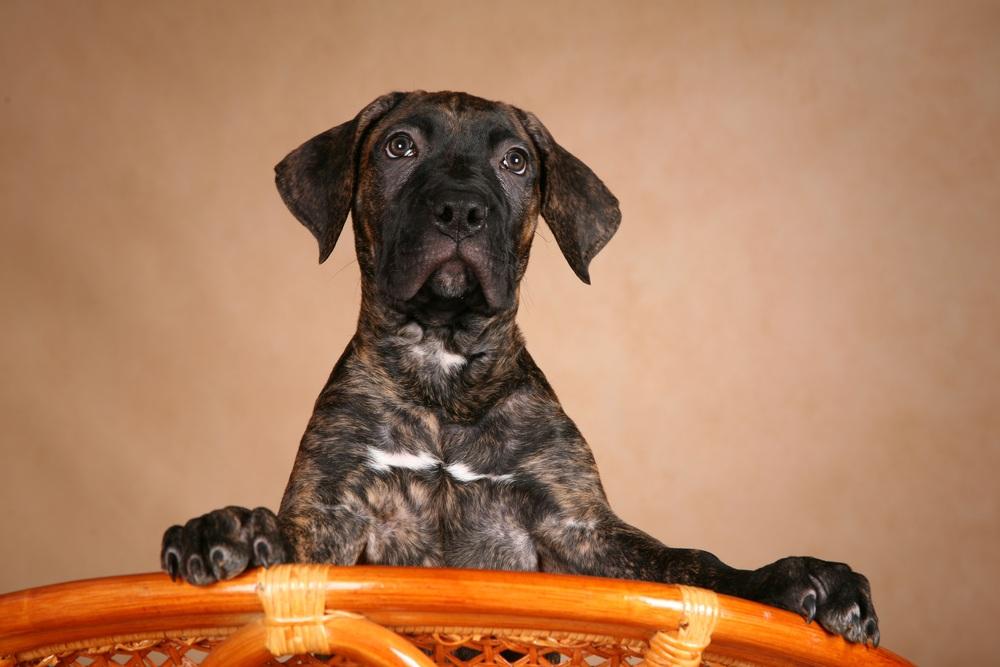 dogue canário cachorro