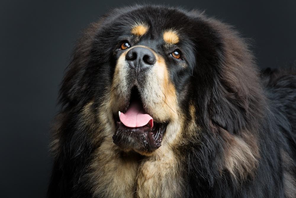mastim tibetano cão
