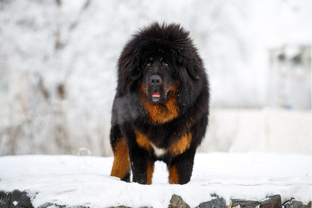 cão mastim tibetano