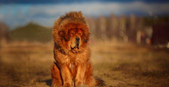 mastim tibetano