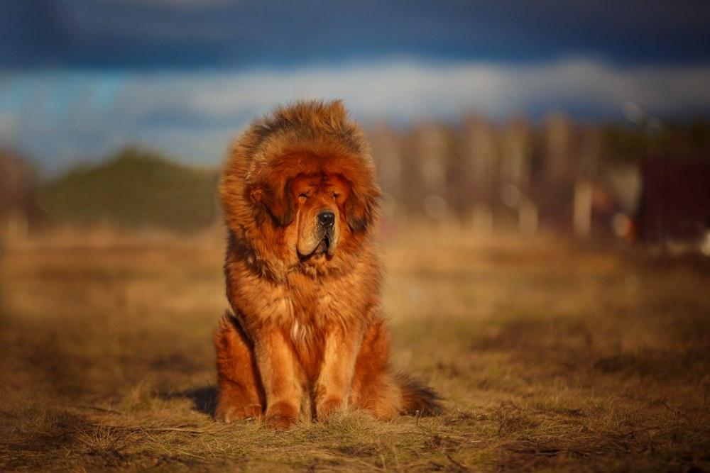 cachorro mastim tibetano