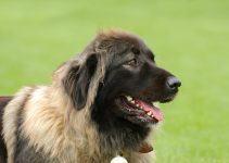 pastor do cáucaso cachorro