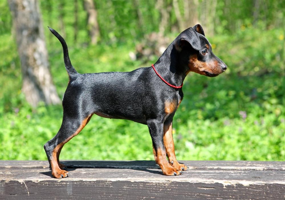 Pinscher Miniatura Raças De Cachorro
