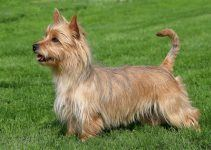 terrier australiano cachorro