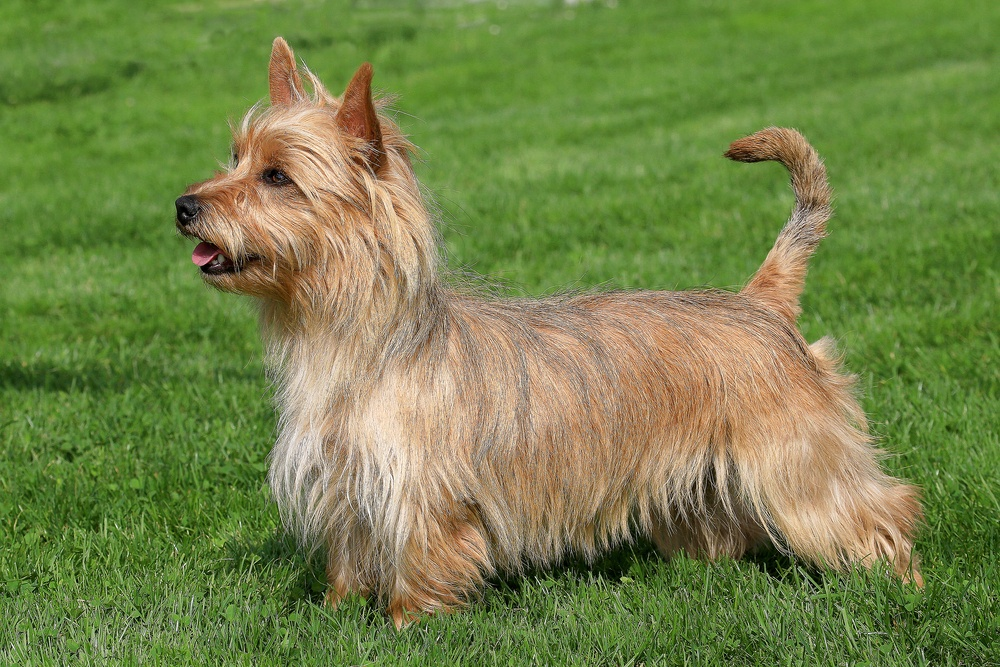 terrier australiano cachorro