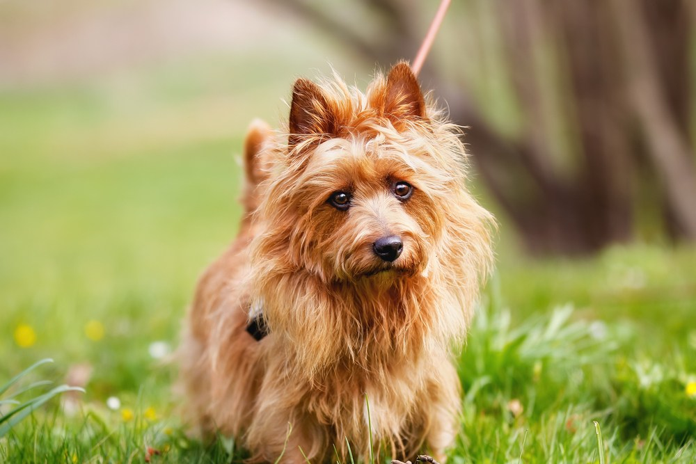 terrier australiano cão