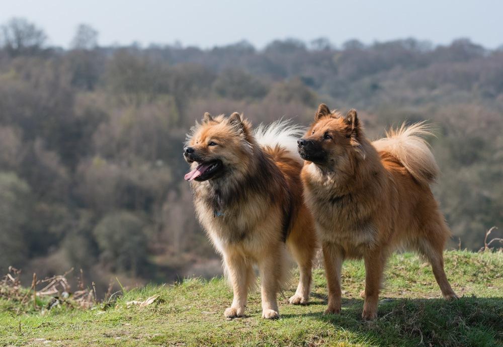 eurasier cachorro