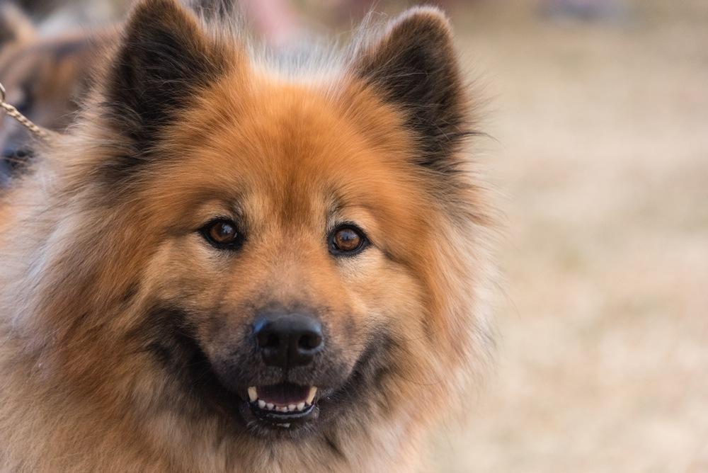 eurasier cão