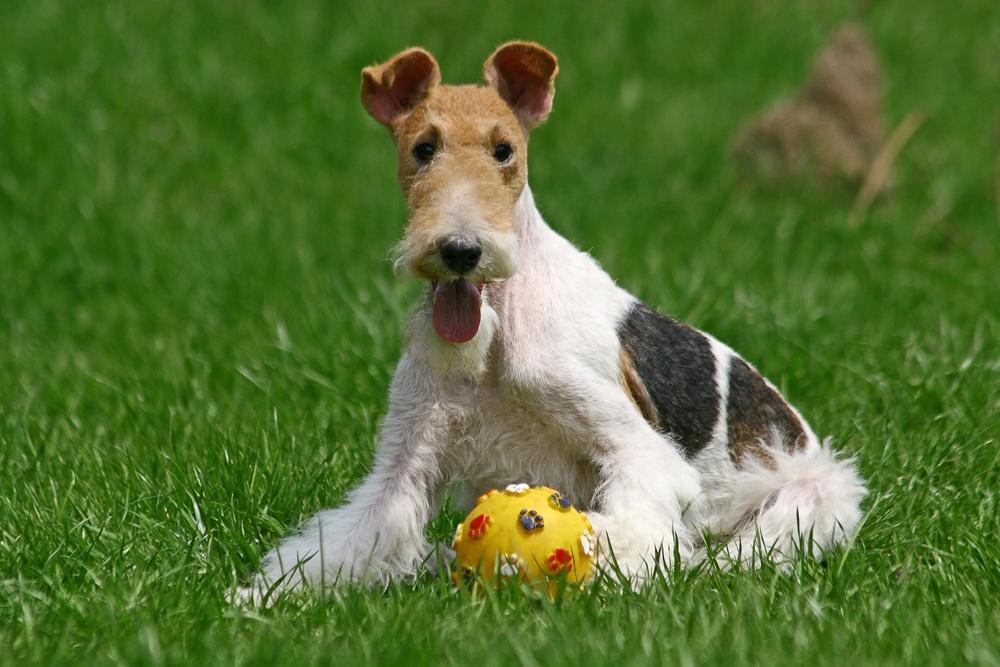 cão fox terrier de pelo duro