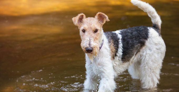 fox terrier de pelo duro cão