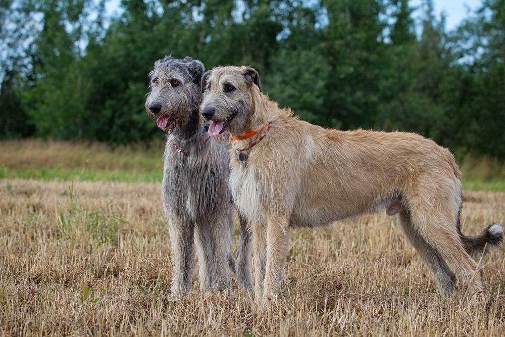 lebrel irlandês cachorro