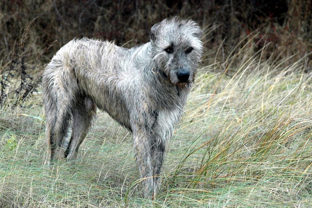lebrel irlandês cão