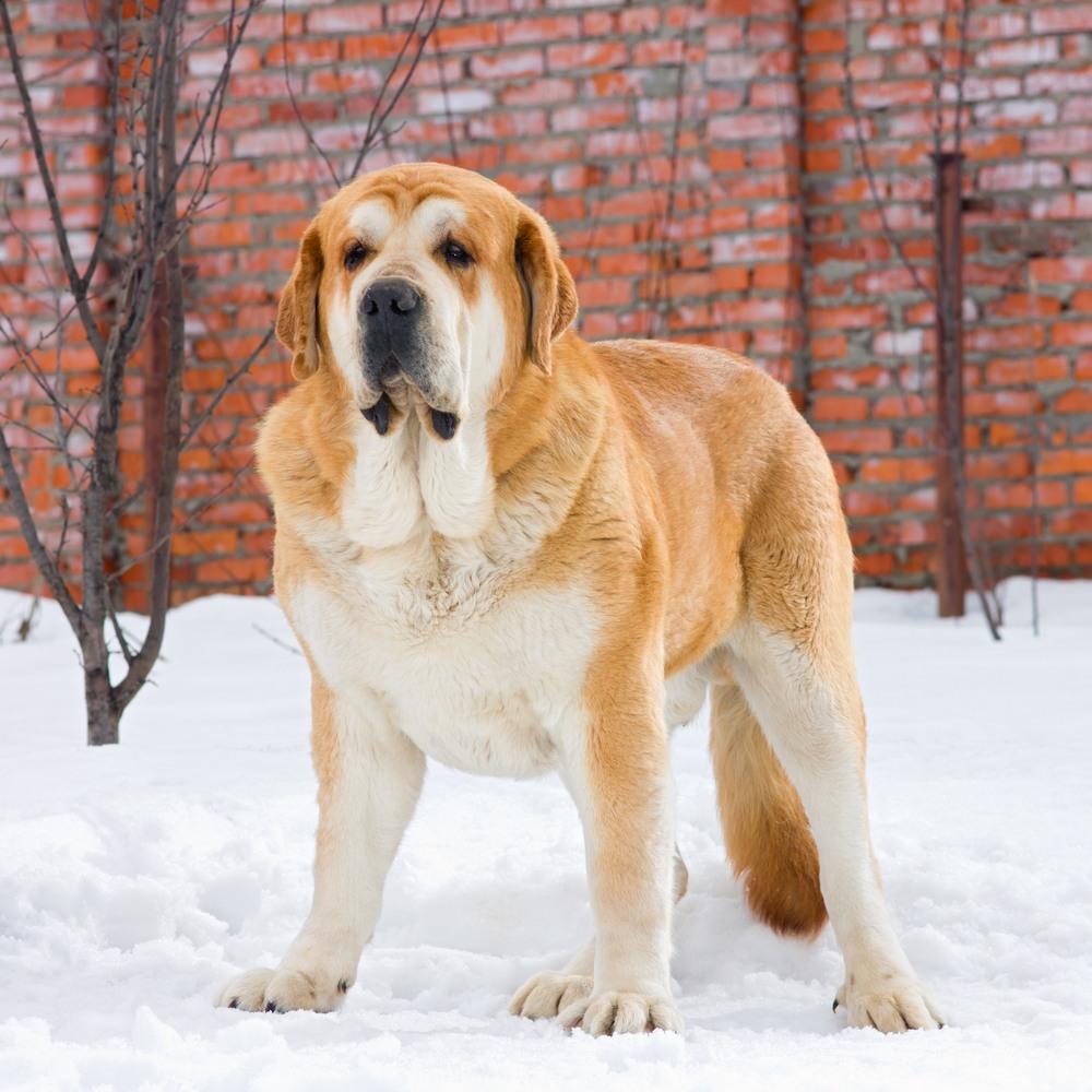 mastim espanhol cão