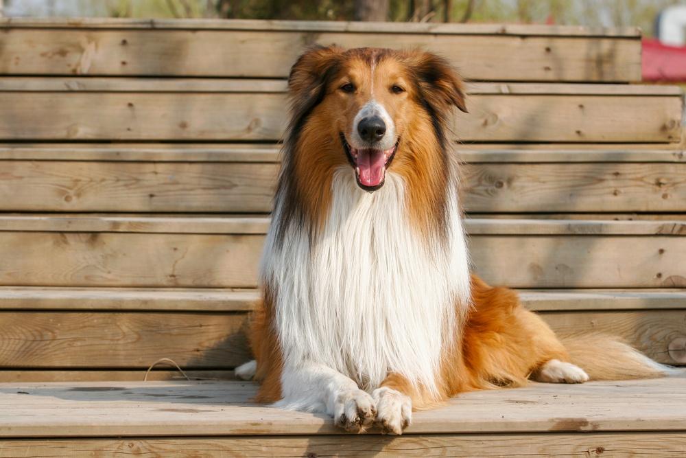 rought collie cão