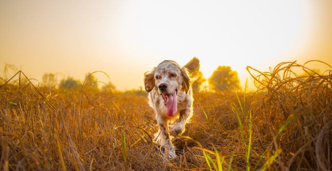 setter inglês cão