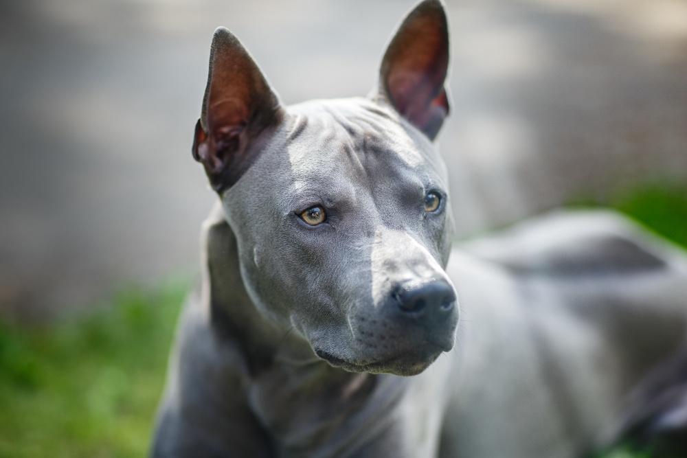 thai ridgeback cão