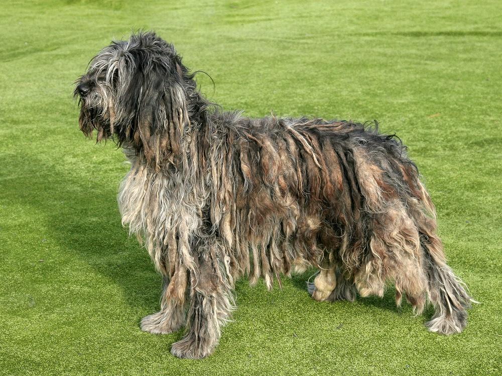 pastor bergamasco cão