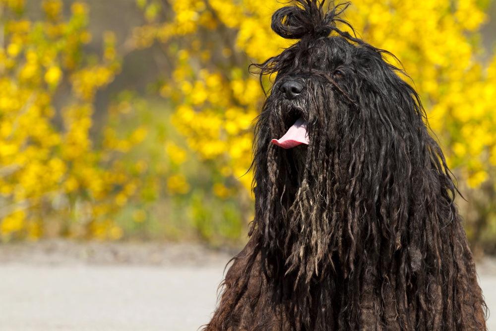 pastor bergamasco cachorro