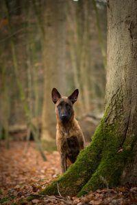 pastor holandês cão