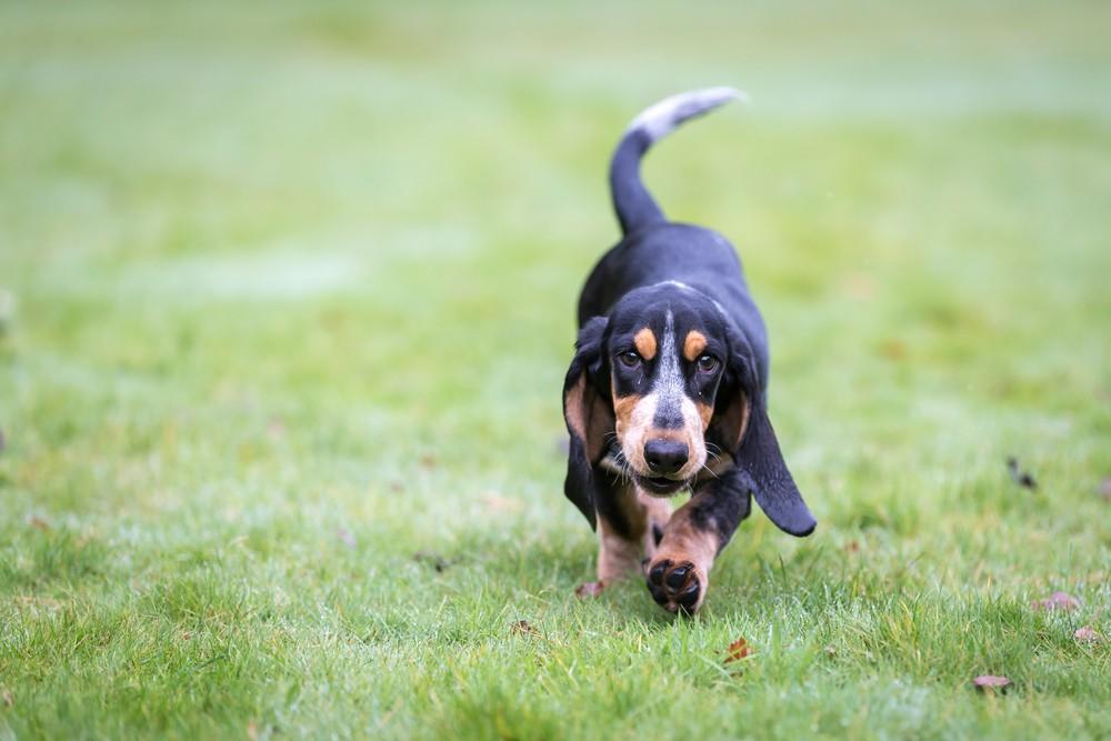 basset azul cão