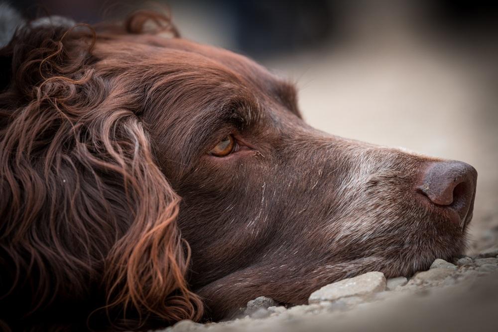 braco alemão de pelo longo cão