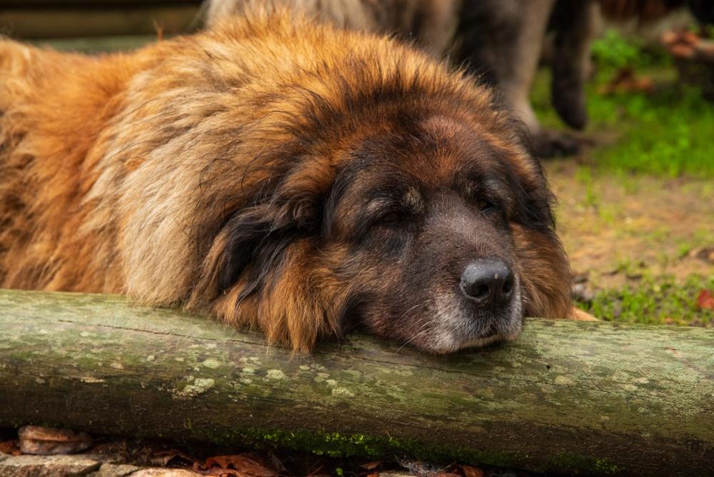 cão da serra da estrela raça