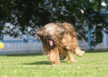 pastor de brie cachorro
