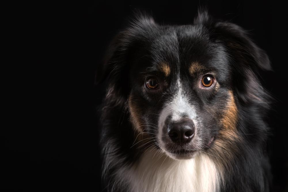 cão pastor norte-americano