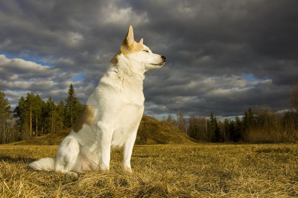 spitz de norboten cachorro