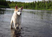 spitz de norboten cão