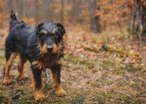 terrier alemão de caça cão