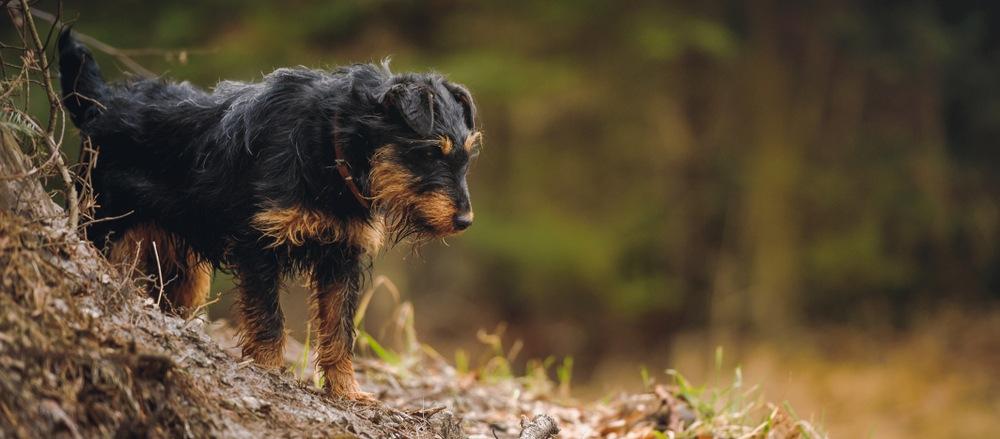 terrier alemão de caça