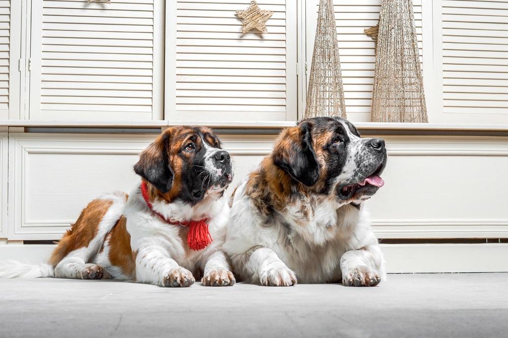 cão de guarda de moscou raça