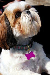 cão imperial chinês