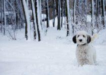 sheepadoodle cão