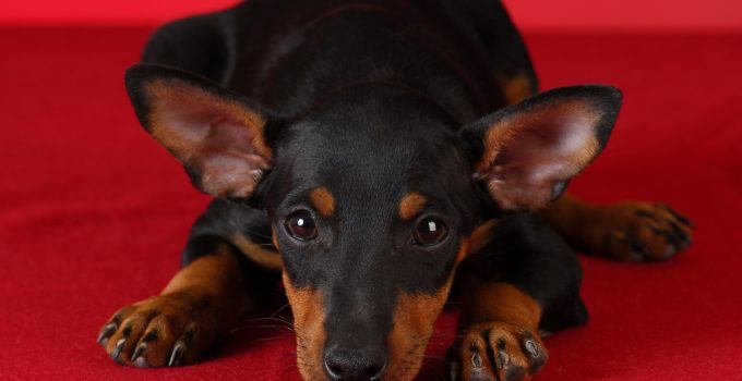 cão toy manchester terrier