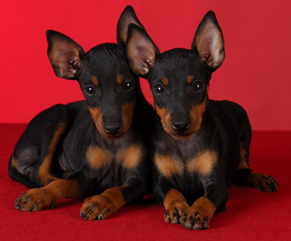 toy manchester terrier cachorro