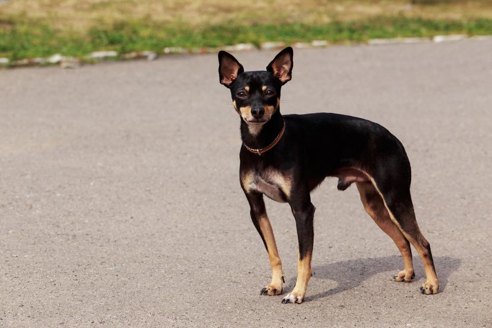 toy manchester terrier cão